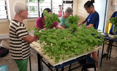 Solar hydroponics transplanting and harvesting by Chong Boon Sec